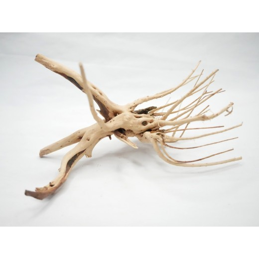 Korzeń japoński 18-24 cm