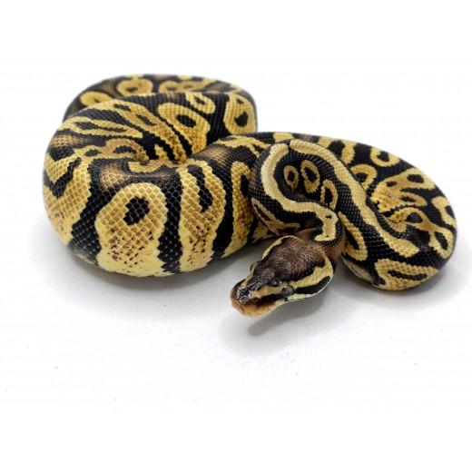 Pyton królewski (Python...
