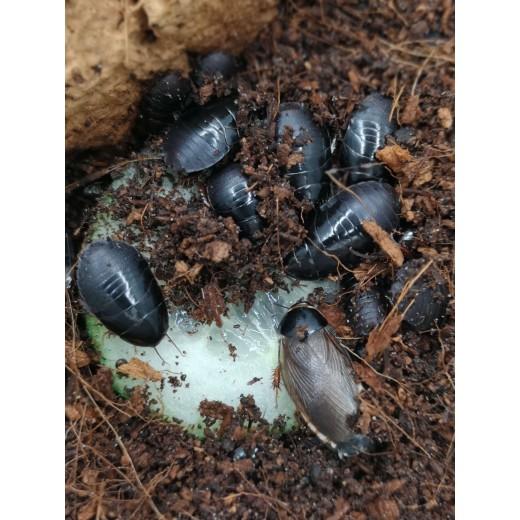 10x Pycnoscelus sp. Dark